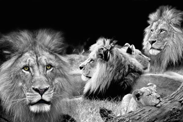 Lion Pride | Wildlife Photography - Art By Smiths