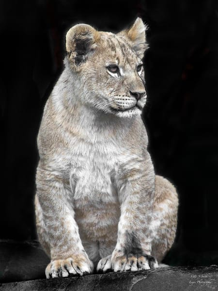 Lion Cub | Wildlife Photography - Art By Smiths