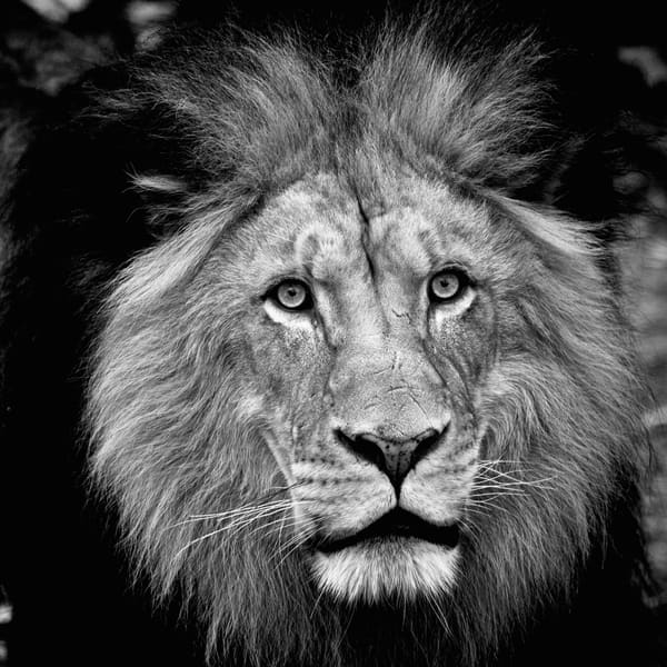 The King Emerges - Black and White Wildlife Photography | Steve and Sharon Smith