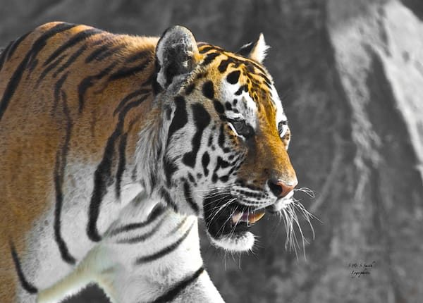 Tobias The Tiger | Wildlife Photography - Art By Smiths