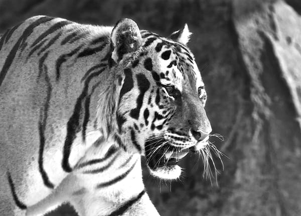 Tobias The Tiger | Wildlife Photography -Black and White - Art By Smiths