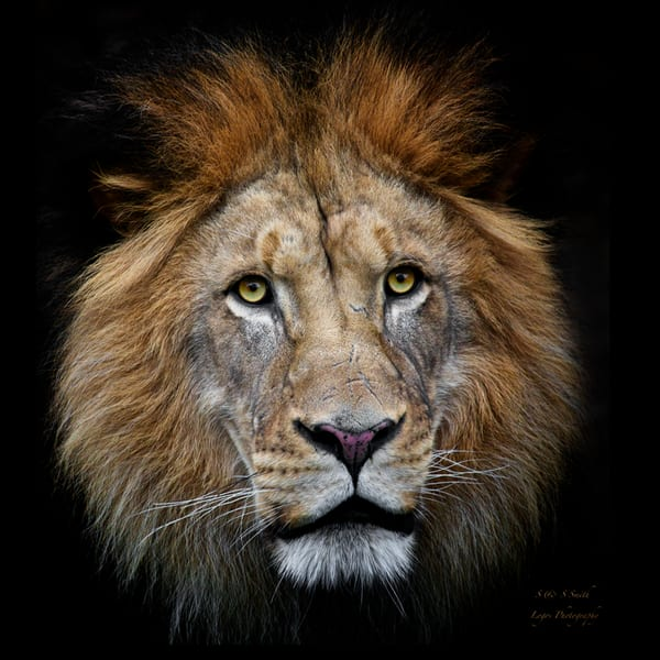 The King Emerges | Wildlife Photography - Art By Smiths