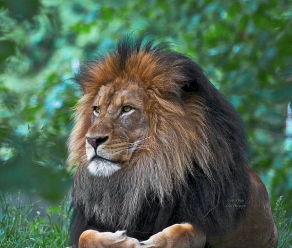 Behold The Majestic Lion | Wildlife Photography - Art By Smiths