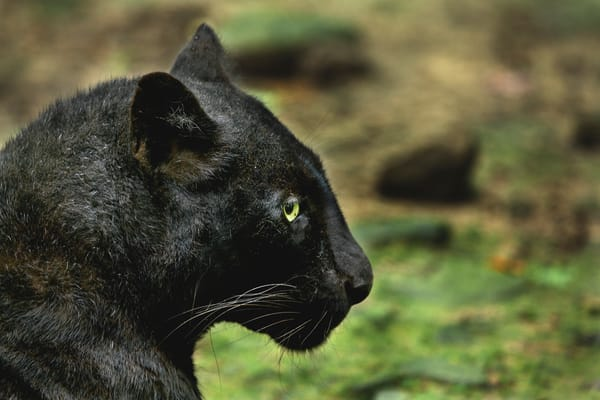 Black Leopard | Wildlife Photography - Art By Smiths