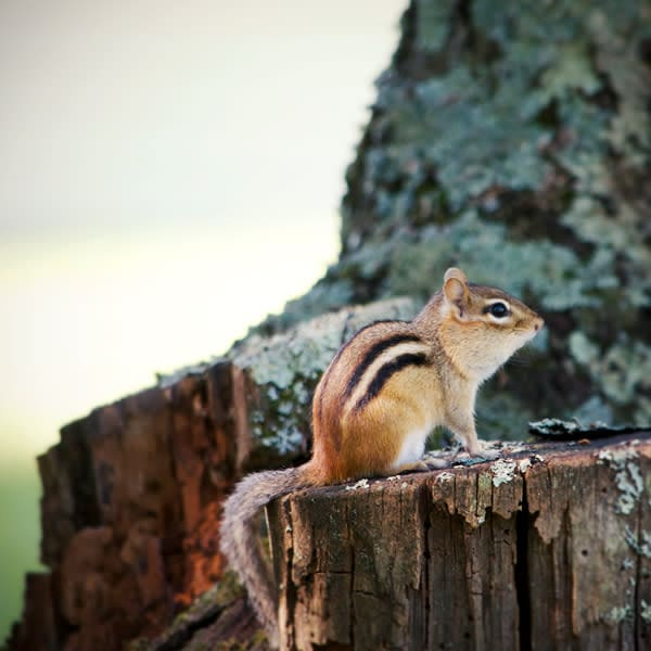 Chipmunk on Tree Stump Photo Tile - for sale as 4x4 and 6x6-inch ceramic tiles