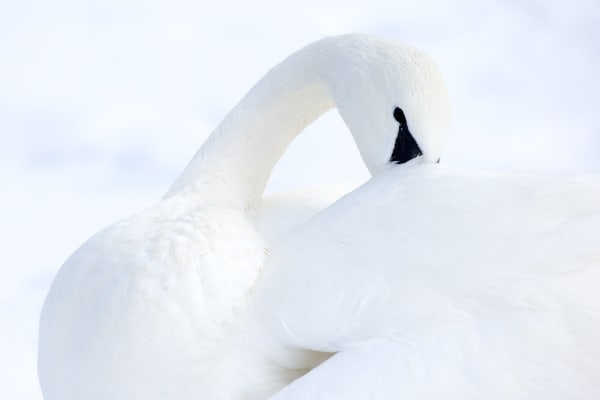 Trumpeter Swan Nature Wall Art | Robbie George Photography