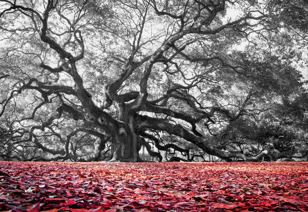 Angel Oak Tree | Luscious Landscapes - Art By Smiths