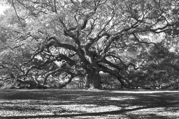 Angel Oak Tree | Luscious Landscapes in Black and White Photography - Art By Smiths