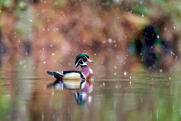 Wood Duck Pictures | Robbie George Photography