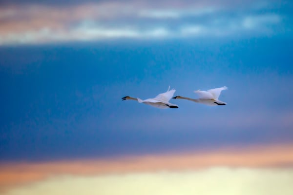 Do Swans Fly | Robbie George Photography