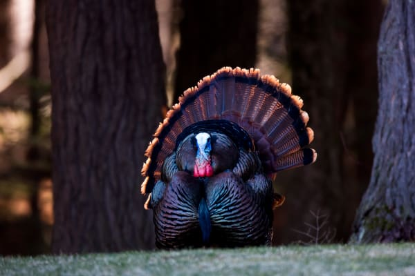 Wild Turkey | Robbie George Photography