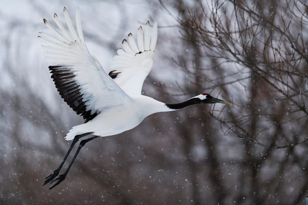 Red-crowned crane take off in Kushiro