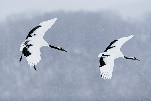 Follow me Red-crowned cranes in Kushiro