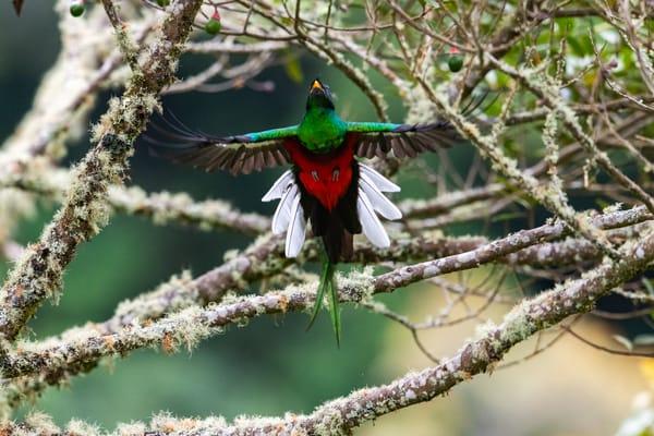 Quetzal jumps for avocado fruit