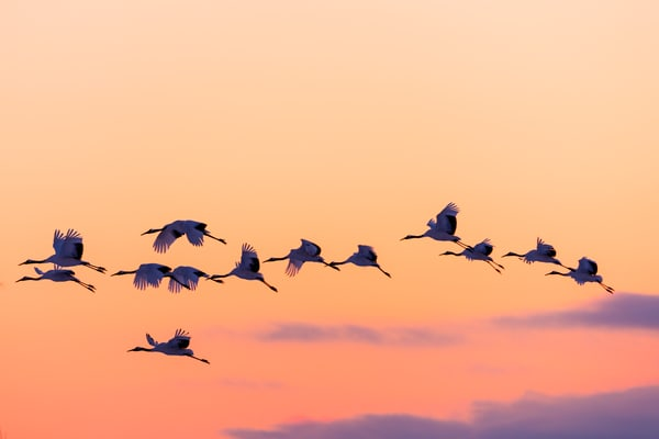 Red-crowned cranes Sunset Flight
