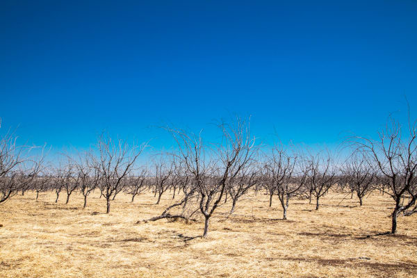 Drought Trees