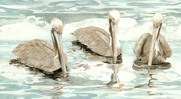 Three Brown Pelicans with their reflections on the water, printed on fine-art paper and offered stretched or framed