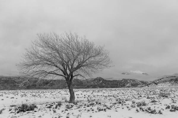 Lone Cottonwood on the Range