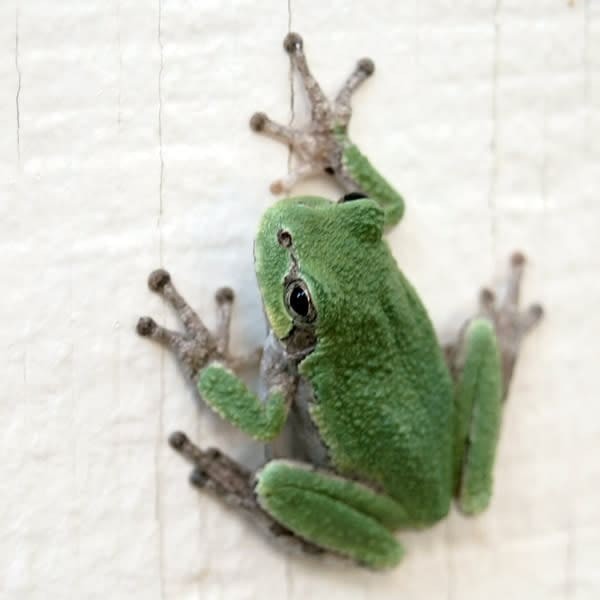 Green Tree Frog Photo Tile - for sale as 4x4 and 6x6-inch ceramic tiles
