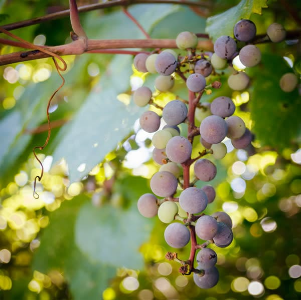 Wild Grapes Photo Tile - for sale as 4x4 and 6x6-inch ceramic tiles