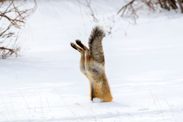 Red Fox Mousing | Robbie George Photography
