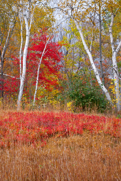 Falling in Love with Autumn Birch Trees | Luscious Landscape Photography - Art By Smiths