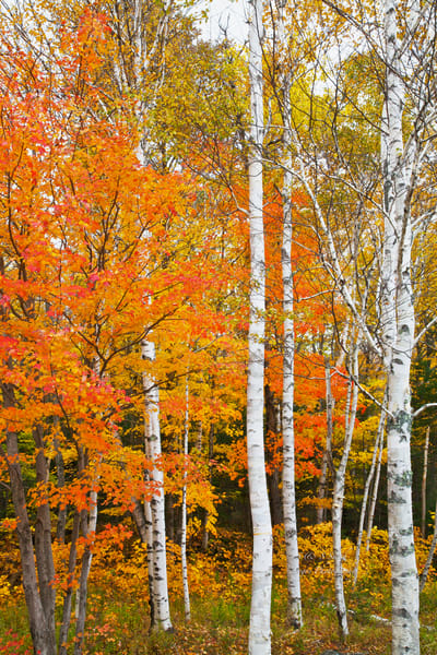 White Birch Trees |  Fall Landscape Photography - Art By Smiths