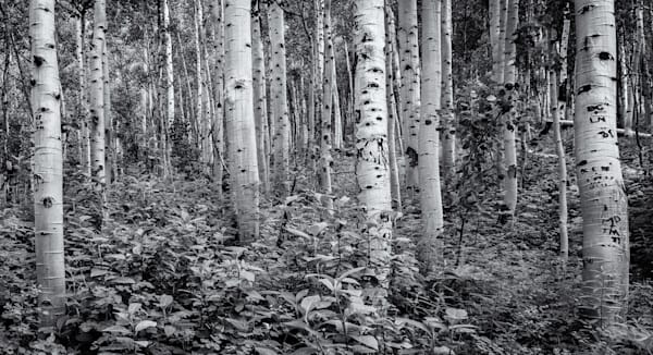 Aspens - Maroon Bell Wilderness, Colorado