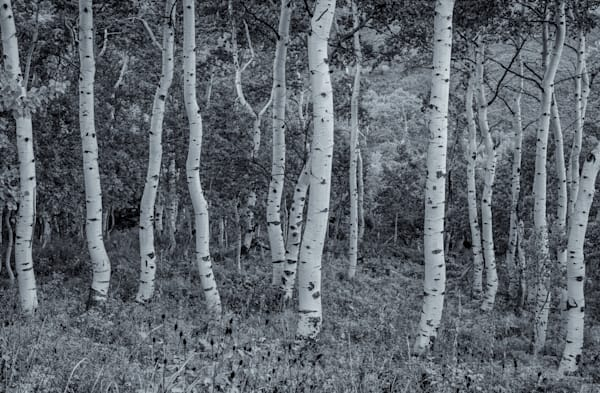 Crooked Aspens - Utah