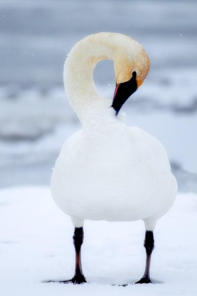 Trumpeter Swan Wildlife Prints | Robbie George Photography