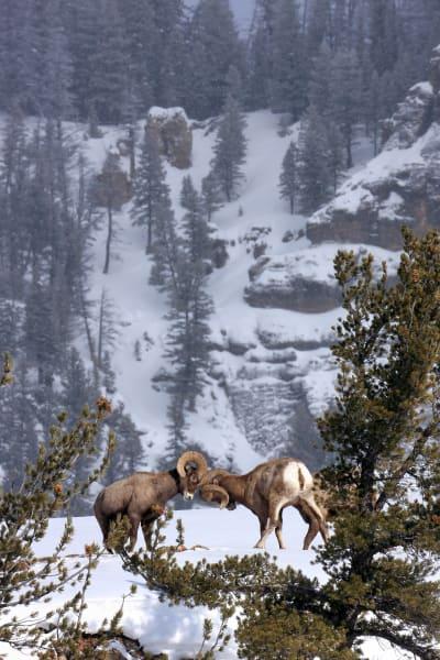 Bighorn Sheep Butting Heads | Robbie George Photography