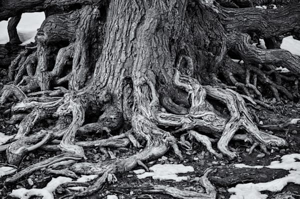 Roots - Mississippi River Saint Paul MN