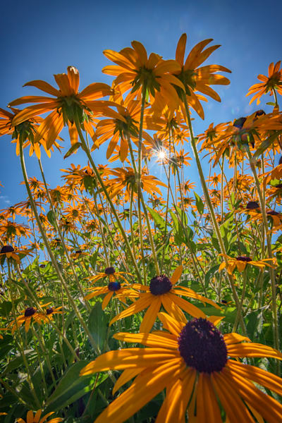 Black-Eyed Susans Bask In The Sun, by Rick Berk