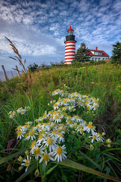 Tall White Asters at West Quoddy Head Fine Art Print by Rick Berk