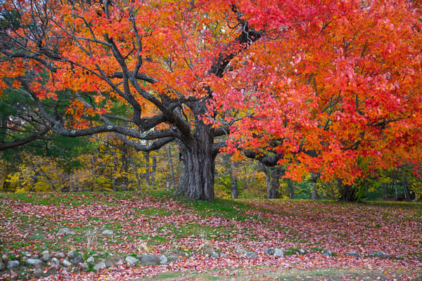 Sugar Maple Tree | Luscious Landscapes and Special Scenery - Art  By Smiths