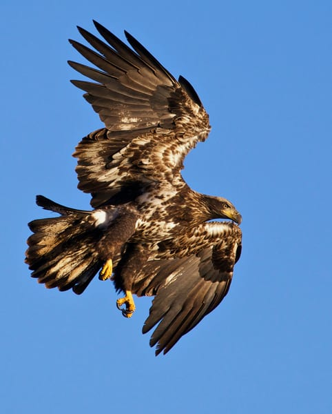 Young Eagle Diving | Art By Smiths - National Wildlife Photography