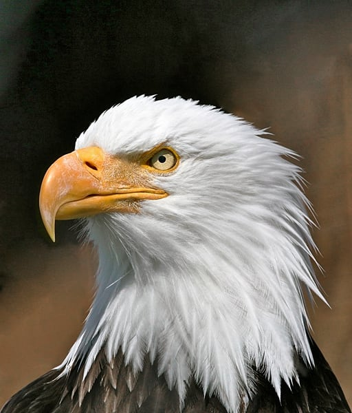 Eagles Our National Symbol of Proud Protector