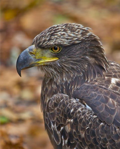 Young Eagle Portrait | Art By Smiths - Wildlife Photography