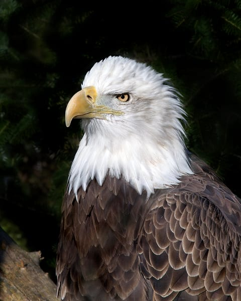 The Eagle | Art By Smiths - Wildlife Photography