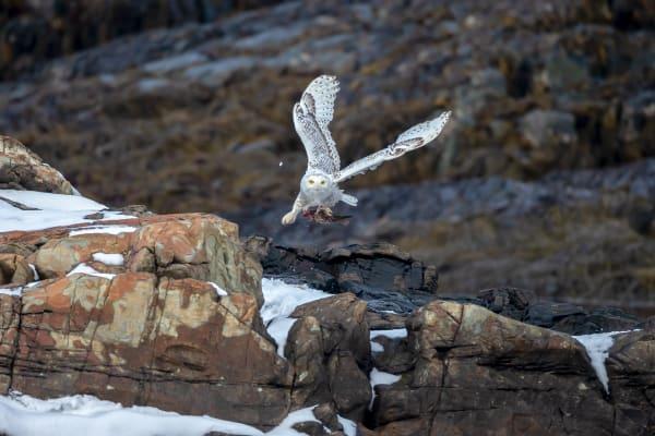 Snowy Owl Wildlife Wall Art Prints | Robbie George Photography