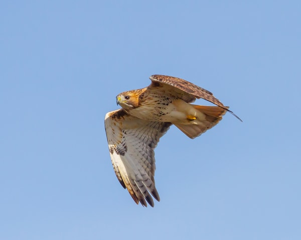 Flying Redtail
