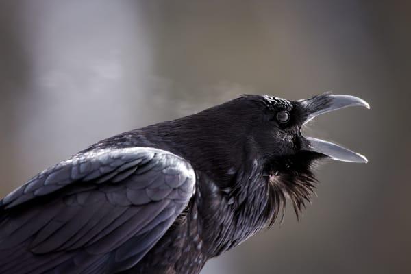 Common Raven | Robbie George Photography