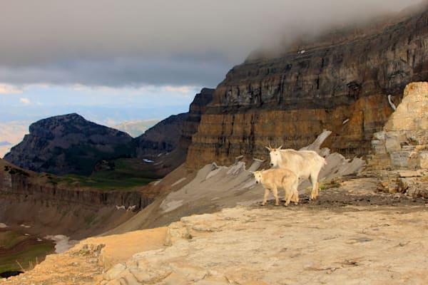 mountain goats on timp