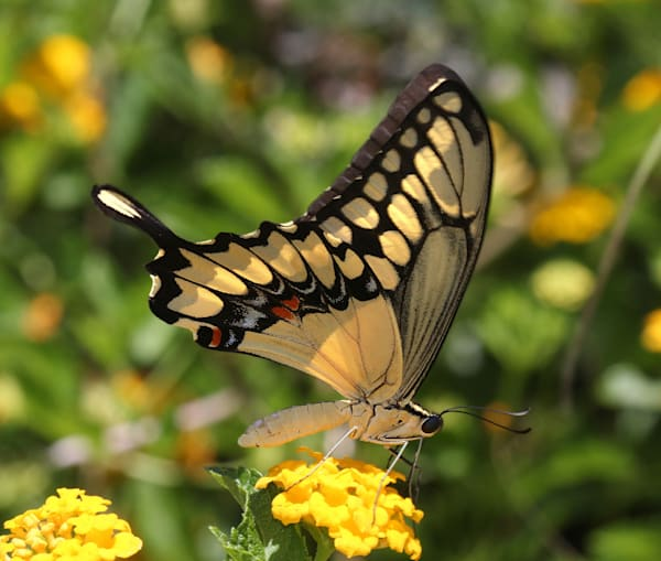 Butterfly 3886506 Copy Art | Lucy Anna Perna
