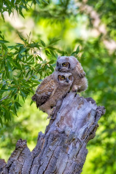 Great Horned Owlet Wildlife Prints | Robbie George