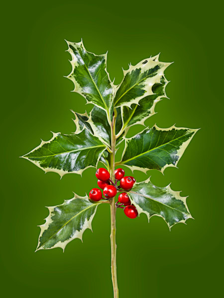 Holiday Holly - High Resolution Fine Art Photographic Print