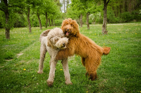 Labradoodles Cavorting