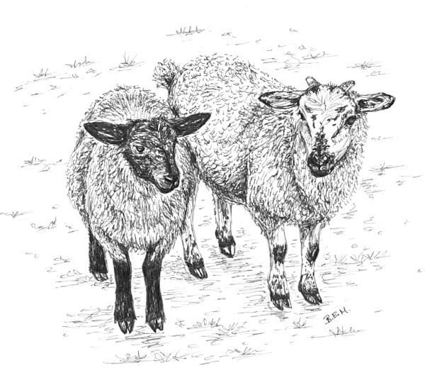 Wee Irish Sheep- Fine Art Print of Original Illustration by Becky MacPherson