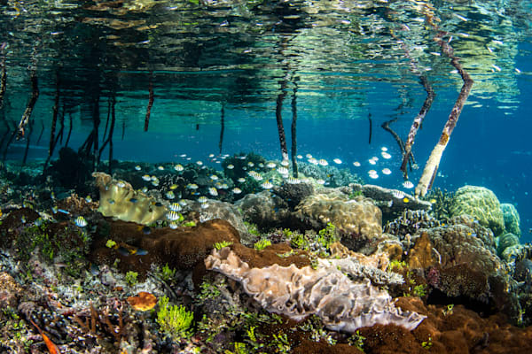 Mangrove Nursery is a fine art underwater photograph for sale