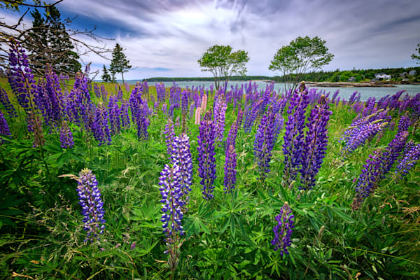 Lupine in Bass Harbor by Rick Berk